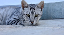 Grey Cat With Stripes And Yellow Eyes