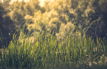 Green Reeds On The River