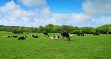 Vaches Laitières En Pâture