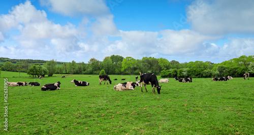 Fototapeta vaches laitières en pâture obraz