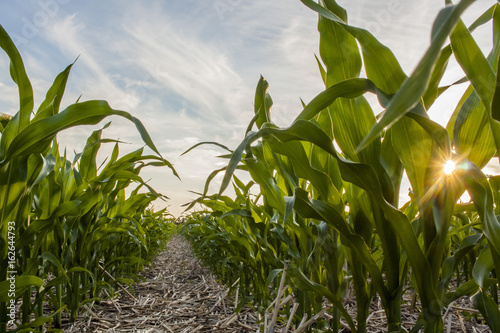 Fotografie, Obraz  Looking down a corn row in a no-till field with a star sunburst between the leaves