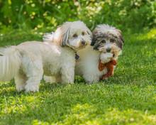 Coton De Tulear Puppies Playin...