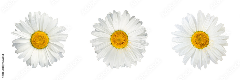 Fototapety, obrazy: Isolated collage of chamomile flowers on white background