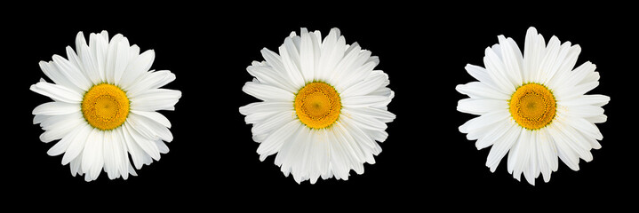 Isolated collage of chamomile flowers on black background