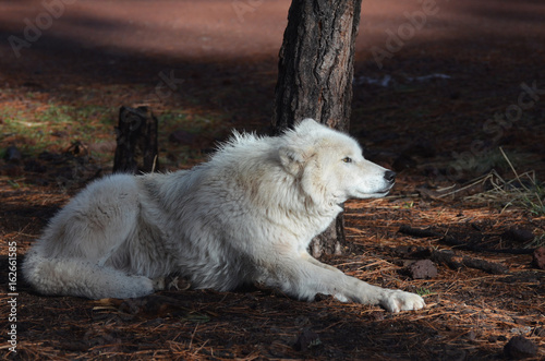 Fotografia, Obraz Compelling White Wolf In Nature During The Summer