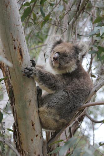 Canvas Prints Koala Koala sleeping in eucalyptus tree