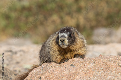 Fotografie, Obraz  Yellow-bellied Marmot