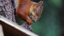 The Red-haired Squirrel Hanging Over The Bird Feeder And Eating Sunflower Seeds. City Pigeons Try To Drive The Squirrel Away From The Feeder. A Wooden Bird Feeder Hangs On A Tree. Close-up. A Summer M