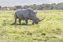 Large Rhino Looking Right In South Africa