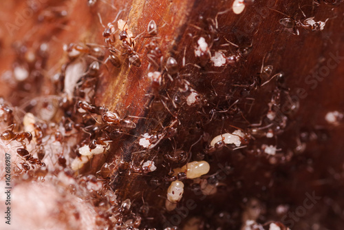 Wood ants, Formica extreme close up with high magnification, carrying their eggs Canvas Print