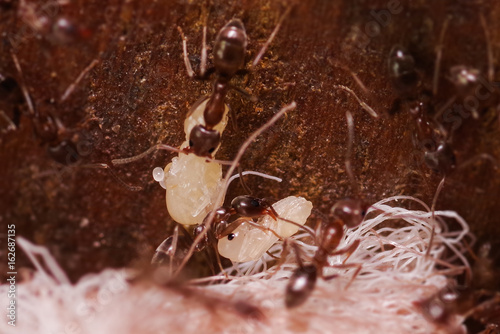 Crod of wood ants, with high magnification, carrying their eggs to anew home, th Wallpaper Mural