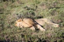 Male Lion Sleeping On Safari I...
