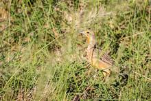 Yellow Throated Longclaw