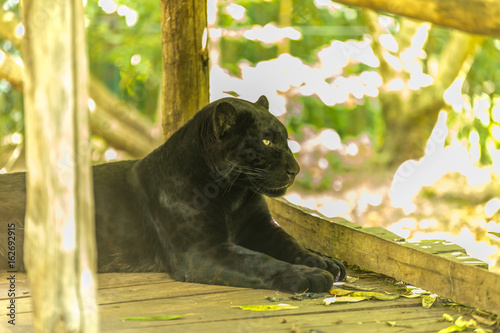 Black jaguar staring and observing on a wooden deck - Panthera onça