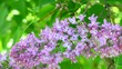 Delicate lilac flowers on tree branch. The June seasonal flowering nature. Floral background for a backdrop.