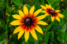 Black Eyed Susan Flower On Sum...