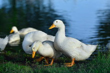 White Ducks Stand On The Shore Of The Pond