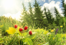 Wild Strawberries Bush  In A Summer Forest Decor - Bush Of Wild Strawberries In Their Natural Environment, On A Sunny Day Of Summer, With Sun Rays Falling On The Berries.