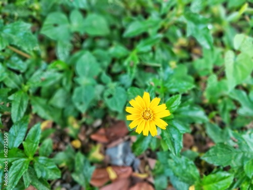 Tiny yellow flower which is called singapore daisy buy this stock tiny yellow flower which is called singapore daisy mightylinksfo