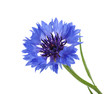 canvas print picture - Cornflower isolated on white without shadow