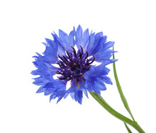 Cornflower Isolated On White W...