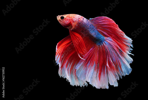 Betta fish, moving moment of siamese fighting fish on black isolated background, betta splendens Canvas Print
