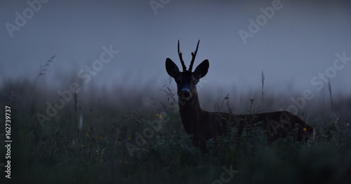 Spoed Foto op Canvas Ree Roe deer at night. Roebuck at night. Animal in the mist.