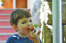 Happy Little Boy Eats Strawberries In Backyard. Child Eating Organic Strawberries