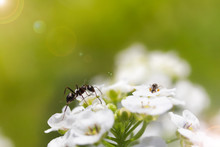 Ant Exploring On A White Flower With A Lens Flare On A Green Background