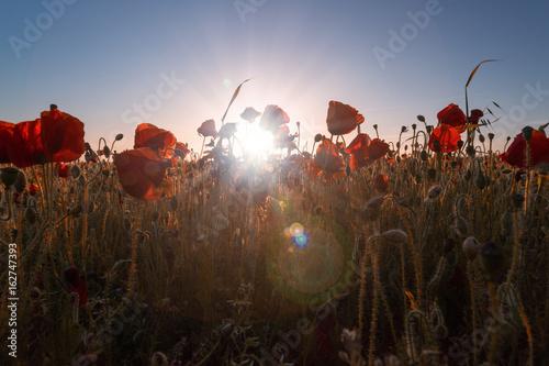 Fototapeta Poppies looking into the sun with a sunburst obraz na płótnie