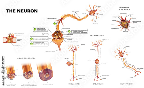 Neuron detailed anatomy illustrations. Neuron types, myelin sheath ...