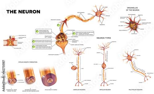 Neuron detailed anatomy illustrations neuron types myelin sheath neuron detailed anatomy illustrations neuron types myelin sheath formation organelles of the neuron ccuart Images