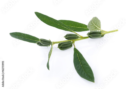 fresh sesame pods isolated on white background