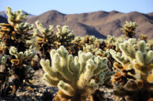 Cholla Cactus Sprouting New Gr...