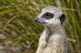 Close up of a Meerkat