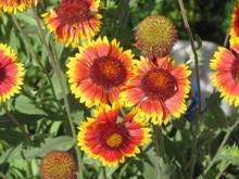 Flower Gaillardia X Grandiflora, Close Up,