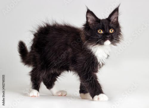 puchaty-czarny-kot-z-bialymi-lapkami
