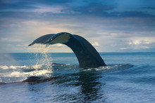 Whales In The Pacific Ocean