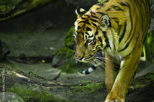 Obrazy na płótnie Canvas Sumatran Tiger