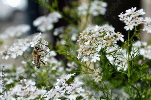 Coriander flowers in the garden