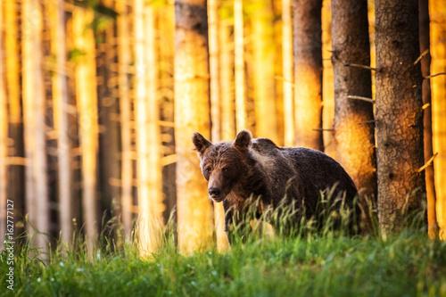 Obrazy na płótnie Canvas brown bear