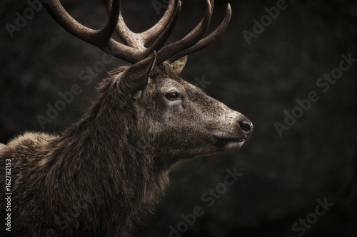 Poster Cerf Stag IV