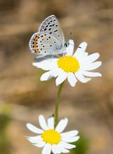 California Hairstreak (Satyrium Californica) Nectaring On Daisy Flower. Santa Clara County, California, USA.