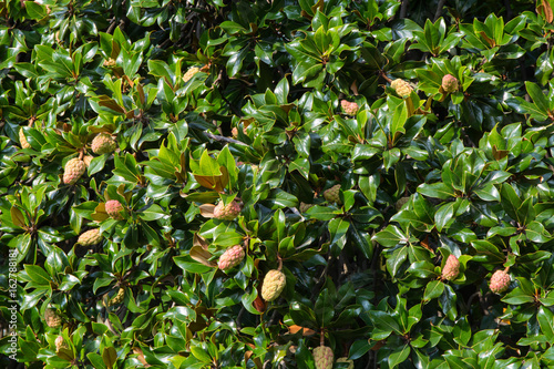 Magnolia Tree With Seed Pods Buy This Stock Photo And Explore