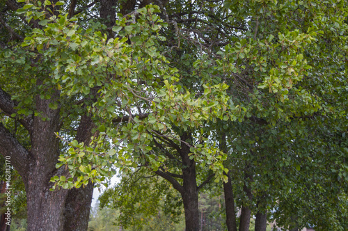 Photo Foliage of black alder (Alnus glutinosa) trees in September, also known as commo