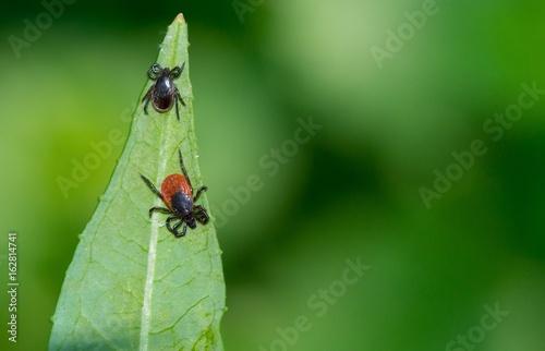 Weibliche (unten), männliche (oben) Zecke, Gemeiner Holzbock (Ixodes ricinus) Zwei Zecken lauern auf Blatt Schmalblättriges Weidenröschen (Epilobium angustifolium), Niedersachsen, Deutschland, Europa