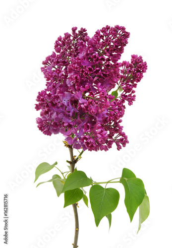 Foto op Canvas Lilac Flowering branch of lilac