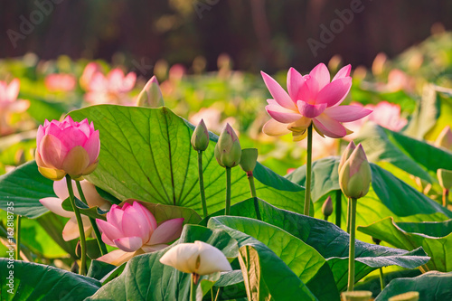 Cadres-photo bureau Fleur de lotus Fleurs de lotus - Nelumbo nucifera