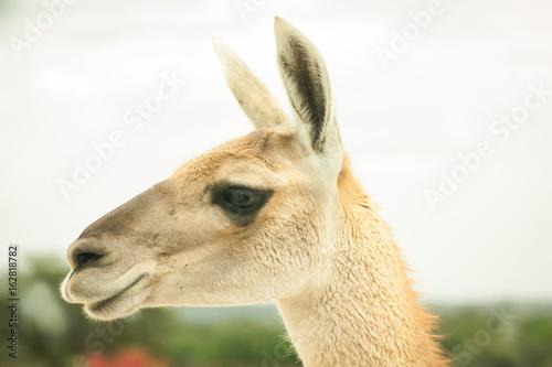Staande foto Lama llama en entorno natural desierto