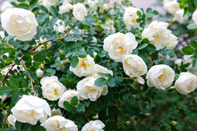 White  Pale Roses Bush Over Su...